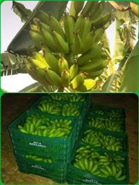 Bananas Maçã, Marmelo(fritar) e Nanica, direta do produtor, produto de qualidade.