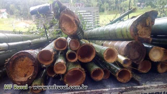 Bambu mosso (Phylostachys Pubescens) In natura