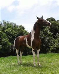 Cavalo Marchador Pampa