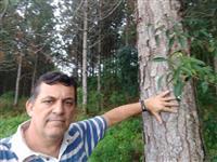 Pinus Elliottiis