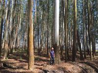 Mato de eucalipto de 40 anos