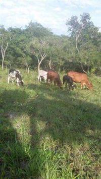 3 vacas mojando, 1 boi novo Zebu, 3 bezerras de 1 ano e meio, 1 bezerro de 2 anos.