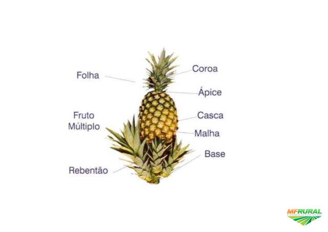 Mudas abacaxi pérolas orgânica