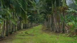 Palmito pupunha in natura