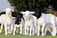 Compro ovinos para corte
