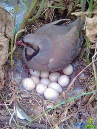 Ovos galados de perdiz Chukar, envio para todo Brasil