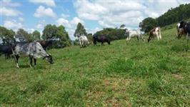 Excelentes Vacas Girolando