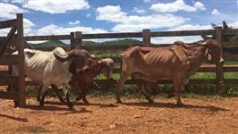 vacas Gir