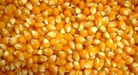 Compro milho em grao e quebrado
