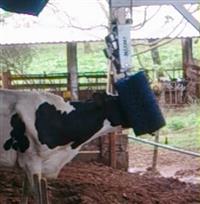 Coçador de Vaca - Máxima