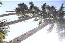 Palmeira imperial 31 anos (20 metros de altura)