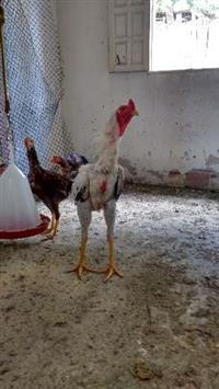 galinhas caipiras e índio gigante