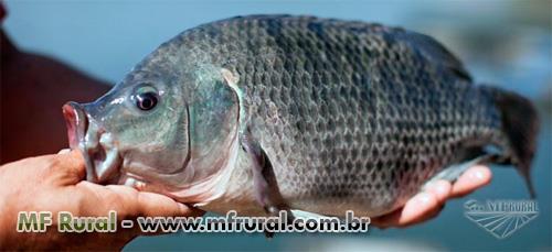 Tilápias do nilo   Mundo Dos Peixes