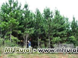 arrendamento de pinus