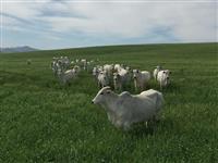Vacas Nelore