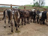 Compro gado mestiço