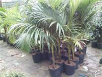 Mudas de Palmeira Real de 1,5 m