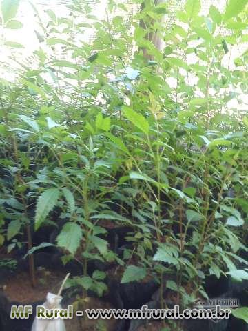 Mudas de arbóreas nativas para recuperação ambiental