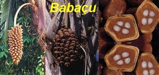 Oleo de babaçu puro para saboaria