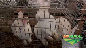 Filhotes de coelhos nova zelandia