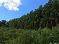Propriedade rural com 100 mil pés de eucalipto plantados
