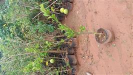 Mudas de frutas produzindo