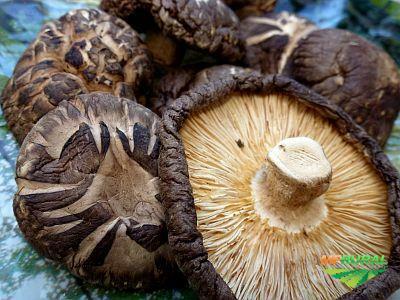 Sementes (micélios) de cogumelos