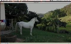 Maestro ,Cavalo Andaluz ( inteiro ) , 10 anos