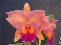 Muda de Orquídea Cattleya Lc. Drumbeat Trimph HCC/AOS x Lc. Alfredo Martinelli Wanda x Blc. Orange S
