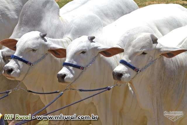 Nelore PO -Vacas, novilhas, bezerras - temos animais de pista e de produção-excelentes oportunidades