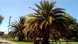 Palmeira Phoenix canariensis