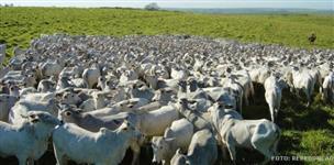 Compro e vendo gado!!!!