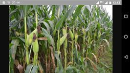 Venda de milho verde 1051 irrigado na bahia