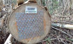Toras de Pinus e Eucaliptos para entrega em Itajai - Exportação