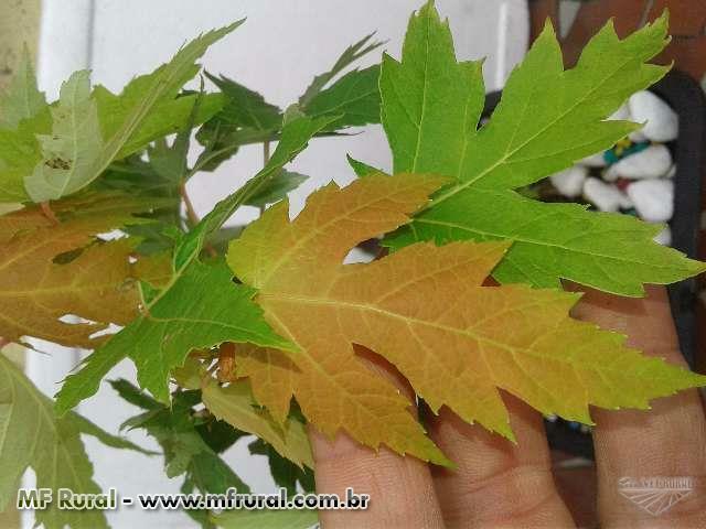 Muda de Acer Saccharum Maple Syrup p Calda de Bordo