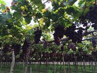 Vendemos uvas selecionadas