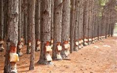 Vendo Resina Pinus Heliote