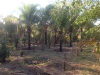 Coqueiro Produzindo