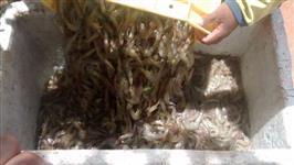 Camarão Fresco ou Congelado - inteiro - cauda - filé