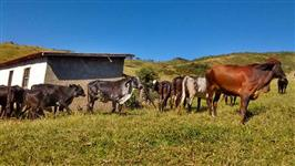 Venda de Novilhas Girolando (Sul de Minas)