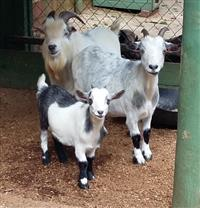 Mini cabra - casal