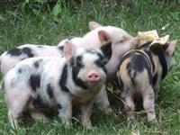 Mini Porcos