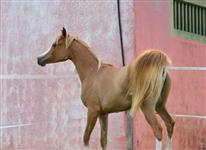 Cavalo puro sangue arabe, egua de 4 anos domada.