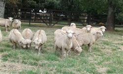 Ovelhas Encarneiradas