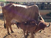 Vacas gir leiteira