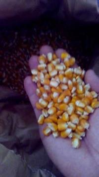 Sementes de milho