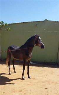 Cavalo indio João de barro