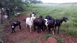 Lote de Ovinos - carneiro - Ovelha - Borrego - Cordeiro
