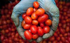 Vendo tomate uva