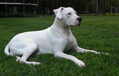 Filhote de Dogo Argentino co Pedigree